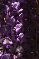 20190418_f07 : 透き通る藤の花 (G-TAKI) Tags: japan fukuoka yanagawa 日本 福岡 柳川 nakayamanooofuji 中山の大藤 flower garden wisteria フジ 藤