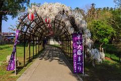 20190418_f03 : 目的地 (G-TAKI) Tags: japan fukuoka yanagawa 日本 福岡 柳川 nakayamanooofuji 中山の大藤 flower garden wisteria フジ 藤