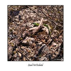 Lézard vert (dibona38) Tags: lézard reptile animaux