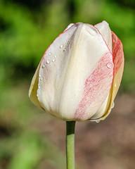 Tulip, Lyndale Park Rose Garden, Minneapolis 5/20/19 (Sharon Mollerus) Tags: minneapolis mn cfptig19