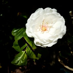 Rose (teltone) Tags: rose flower garden summer 2019 beauty romantic friendship samsung galaxy macro close detail