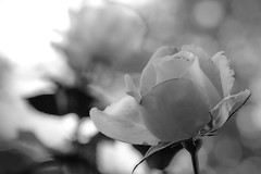 Rose (cooper.gary) Tags: blackandwhite flora garden rose spring canoneos5dmarkii canonef100mmf28lmacroisusm canon eos canoneos mindfulness zen bloom flower affinityphoto suggest monochromatic