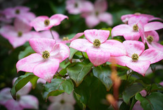 Raising Their Little Heads To Greet The Morning .... (~ Cindy~) Tags: springdogwoods pink closeup tennessee htmt