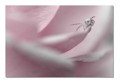 Thomise TU1 Bd Dfi Viv Rd1 _MG_0333-4 (thierrybarre) Tags: thomise araignée spider rose flower flore bokeh cute mood macro