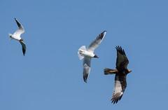 Болотный или камышовый, лунь - Circus aeruginosus - Marsh harrier (SvetlanaJessy) Tags: природа птицы лунь birds bird