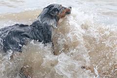 Swamped Dog (peterkelly) Tags: digital canon 6d northamerica wheatley ontario canada beach australianshepherd lakeerie dog water wave wet greatlakes