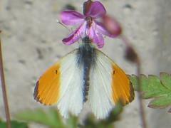 Orange Tip Feeding (river crane sanctuary) Tags: orangetip butterfly rivercranesanctuary wildlife nature