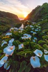 Doud Creek Calla Lily Sunset (optimalfocusphotography) Tags: sunburst usa landscape sunset nature water clouds northerncalifornia sun beach ocean callalilies bigsur sky flowers backlight coast california sea
