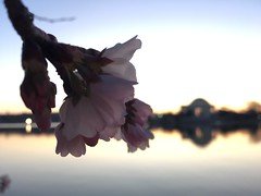 IMG_4001 (francesxcabrini) Tags: cherry blossoms cherryblossoms washingtondc flowers sunrise jeffersonmemorial washingtonmonument tidalbasin