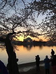 IMG_4021 (francesxcabrini) Tags: cherry blossoms cherryblossoms washingtondc flowers sunrise jeffersonmemorial washingtonmonument tidalbasin