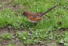 Ground Feeder (Diane Marshman) Tags: towhee rufoussided eastern rusty brown body white belly underneath long tail medium size bird adult mature female grass spring pa pennsylvania nature wildlife easterntowhee