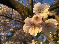 IMG_4065 (francesxcabrini) Tags: cherry blossoms cherryblossoms washingtondc flowers sunrise jeffersonmemorial washingtonmonument tidalbasin
