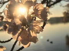 IMG_4133 (francesxcabrini) Tags: cherry blossoms cherryblossoms washingtondc flowers sunrise jeffersonmemorial washingtonmonument tidalbasin