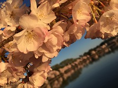 IMG_4134 (francesxcabrini) Tags: cherry blossoms cherryblossoms washingtondc flowers sunrise jeffersonmemorial washingtonmonument tidalbasin
