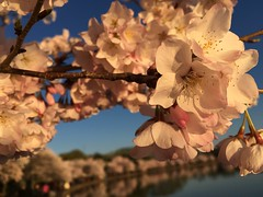 IMG_4138 (francesxcabrini) Tags: cherry blossoms cherryblossoms washingtondc flowers sunrise jeffersonmemorial washingtonmonument tidalbasin