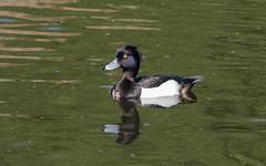 Хохлатая чернеть - Aythya fuligula - Tufted duck (SvetlanaJessy) Tags: хохлатаячернеть aythyafuligula tuftedduck природа птицы чернеть bird birds