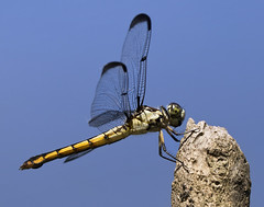dragonfly (watts photos1) Tags: dragonfly dragon fly insect flying macro insects nature wings