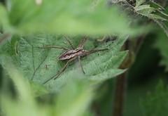 Nursery Web Spider (themadbirdlady) Tags: nurserywebspider pisauramirabilis spider haughofblackgrangens8493