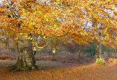 New Forest NP, Hampshire, UK (east med wanderer) Tags: england hampshire uk newforestnationalpark nationalpark beech holly bracken autumn november