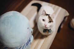 2019.5.21 : 4/365 (Nazra Z.) Tags: sumikkogurashi munchkin cat すみっコぐらし すみっコ写真部 okayama japan vscofilm 365 ayearofjoys raw pet home indoors