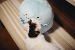 2019.5.21 (Nazra Z.) Tags: sumikkogurashi munchkin cat すみっコぐらし すみっコ写真部 okayama japan vscofilm 365 ayearofjoys raw pet home indoors