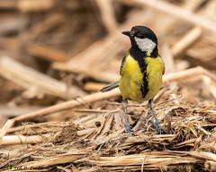 TIT, Great (teddcenter) Tags: paridae spain parusmajor castillalamancha quero bird greattit passeriformes eltaray