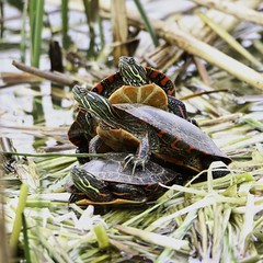 Triple Decker (chauvin.bill) Tags: htt turtletuesday paintedturtles tamron squareformat luminar31