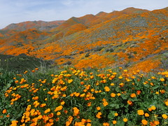 California poppies - Walker Canyon (h willome) Tags: 2019 california wildflowers superbloom lakeelsinore walkercanyon
