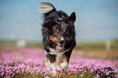 Running (Flemming Andersen) Tags: animal bordercollie outdoor yatzy dog flowers hund nature pet