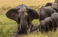 SAVANNAH ELEPHANTS:  MUD HOLE (John C. Bruckman @ Innereye Photography) Tags: kenya maasaimarareserve elephant savannahelephants pachyderms elephantfamilies femaleelephants matriarch cows calves calf matriarchalhead mudhole skinparasites sunburn