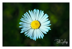Multi wing daisy (Bob Geilings) Tags: daisy flower yellow green white floral flora nature summer spring botanical