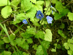 Forget-Me-Not, St Dial's Road, Greenmeadow, Cwmbran 21 May 2019 (Cold War Warrior) Tags: forgetmenot flower cwmbran