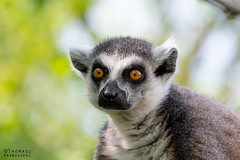 Ring tailed lemur (Lemur catta) at Knuthenborg Wildlife Park (ThomasMaribo) Tags: green ring tailed lemur catta madagascar knuthenborg lolland bandholm denmark danmark animal eyes staring
