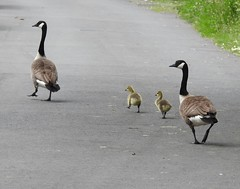 Canada Geese, Ty Coch  Lane, Cwmbran 21 May 2019 (Cold War Warrior) Tags: canada goose gosling cwmbran