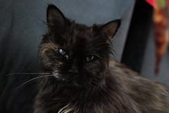 Ein letztes Portrait (Vasquezz) Tags: katze cat zarah sibirischekatze sibirisch sibirische siberiancat siberian сибирская кошка сибирскаякошка zarin abschied
