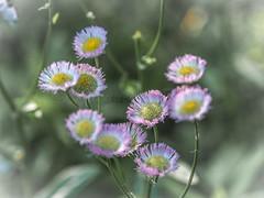 Daisy Fleabane (Shannonsong) Tags: daisyfleabane wildflowers pink sunlight flora macro garden flowers blossoms
