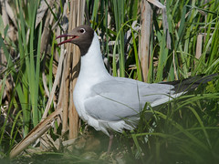 Озёрная чайка - Larus ridibundus - Black-headed gull (SvetlanaJessy) Tags: природа птицы чайка bird birds gull