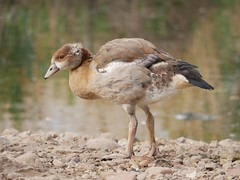 Egyptian goose gosling (PhotoLoonie) Tags: egyptiangoose gosling waterbird wildlife nature bird goose duck attenboroughnaturereserve
