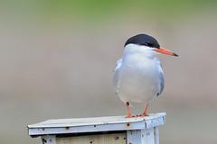 Sterne pierregarin --- common tern --- sterna hirondo (Jacques Sauvé) Tags: sterne pierregarin common tern sterna hirondo oiseau bird ave