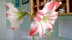 Amaryllis (6th White with red veining of 2019) Close up on living room table  21st May 2019 (D@viD_2.011) Tags: amaryllis 6th white with red veining 2019 flowers living room table may