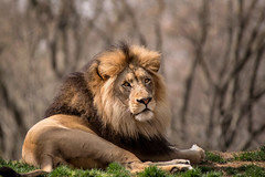 The King 3-0 F LR 4-9-19 J206 (sunspotimages) Tags: lion lions nature malelion malelions africanlion africanlions zoo zoos nationalzoo