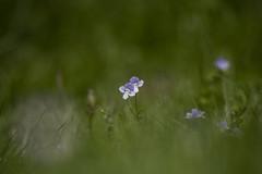 Blue Eyed Grass (Osgoldcross Photography) Tags: flower small blue grass blueeyedgrass nature naturalhistory spring nikon nikond850 raw d850 lothertonhall parkland estate stem petals delicate wild
