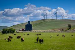 Wind generators and sheep (Richard McGuire) Tags: palouse steptoebutte washington landscape