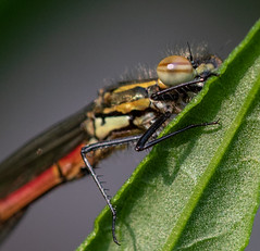IMG_9679 (Dave M. Pettit) Tags: dragonfly dragonflies damselfly damselflies insects wildlife nature