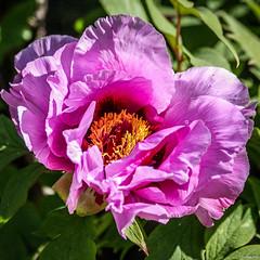 Pivoine (Vostok 911) Tags: vostok911 canon canonef70300mmf456isusm eos40d pivoine rose fleur flower