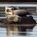 Islay Seals