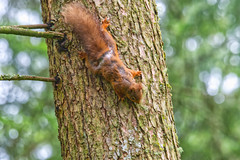 Red Squirrel (Margaret S.S) Tags: red squirrel tree wood bark