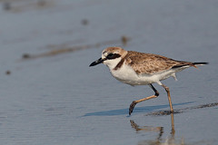 Greater Sandplover (Rajiv Lather) Tags: charadriusleschenaultii greatersandplover india indian birds birding gujarat
