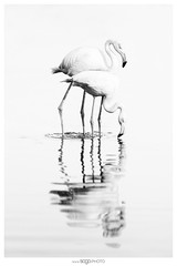Flamingo love... (Sogo.photo) Tags: animaux camargue oiseaux outside water white nature highkey art bird lake bw blackandwhite