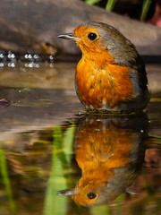 Robin-15 (ianrobertcole1971) Tags: bird garden bathing splash reflection passerine nikon d7200 300mm f4 pf ed robin
